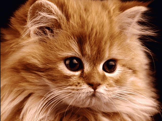 Mačke GENTP020